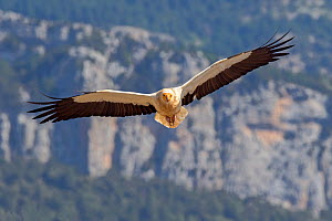 Egyptian vulture (Neophron percnopterus) in flight, Pyrenees, Spain, July  -  David Kjaer