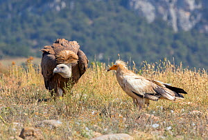 Egyptian vulture (Neophron percnopterus) and Griffon vulture (Gyps fulvus) Pyrenees, Spain July  -  David Kjaer