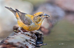 Crossbill (Loxia curvirostra) male drinking, Pyrenees, Spain July - David Kjaer