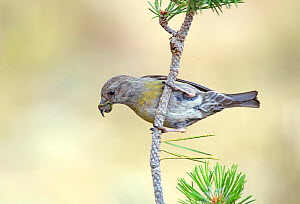 Crossbill (Loxia curvirostra) female, showing a buiid up of resin on her bill from feeding on pine cones, Pyrenees, Spain July - David Kjaer