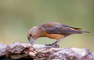 Crossbill (Loxia curvirostra) male trying to find insects underneath tree bark, Pyrenees, Spain July - David Kjaer