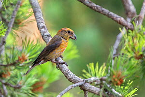Crossbill (Loxia curvirostra) male, Pyrenees, Spain, July - David Kjaer