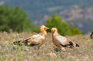 Egyptian vulture (Neophron percnopterus) two together on ground, Spain July  -  David Kjaer