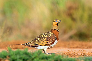 Pin-tailed sandgrouse (Pterocles alchata) male drinking, Spain, July  -  David Kjaer