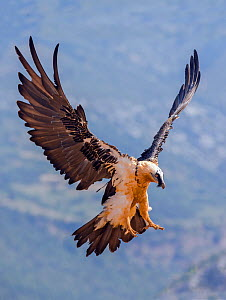 Lammergeier (Gypaetus barbatus)) coming in to land, Spain, July  -  David Kjaer