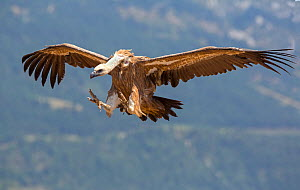 Griffon vulture (Gyps fulvus) coming in to land, Spain, July - David Kjaer