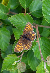 Heath fritillary (Mellicta athalia) Devon, UK  -  David Kjaer