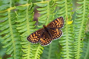Heath fritillary (Mellicta athalia) Devon UK  -  David Kjaer