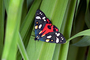 Scarlet tiger (Callimorpha dominula) Wiltshire, UK  -  David Kjaer