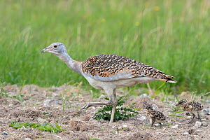 Great bustard (Otis tarda) 4 year old female (Black 17) with 6 days old chicks - part of a reintroduction project with birds imported under DEFRA licence from Russia.  Salisbury Plain, UK May  -  David Kjaer