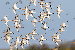Black-tailed godwit (Limosa limosa) flock in flight, Gloucestershire, UK January - David Kjaer