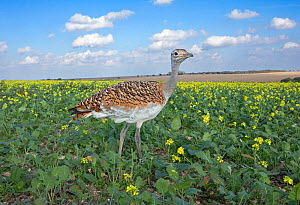 Great bustard (Otis tarda) female (green 42) young bird hatched from eggs which were taken under licence from nests in Spain, part of release project, Wiltshire, UK  -  David Kjaer