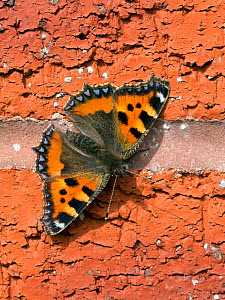 Small tortoiseshell butterfly (Aglais urticae) Wiltshire, UK  -  David Kjaer