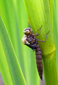 Southern hawker (Aeshna cyanea) emerging from larva/nymph case, Wiltshire, UK  -  David Kjaer