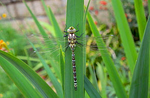 Southern hawker (Aeshna cyanea) newly emerged juvenile male, Wiltshire, UK  -  David Kjaer
