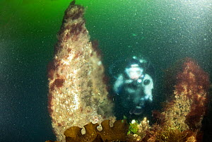 Scuba diver diving 'Little Strytan' a chimney rising from 25 meters in hot water, emerging from Strytan - the only geothermal cone found in the world shallow enough for scuba diving, Eyjafjordur nearb... - Franco  Banfi