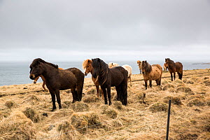 The Icelandic horse is a unique breed of small horses that came to Iceland with the first settlers from Norway 1100 years ago, Iceland - Franco  Banfi