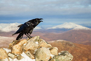 Raven (Corvus corax) adult calling from rock in mountain habitat, Scotland, UK. November. Third place in  British Birds Bird Photograph of the Year competition 2016. - Mark Hamblin