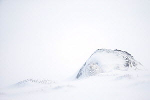 Mountain hare (Lepus timidus) in white winter coat camouflaged in snow, Scotland, UK. Commended in the Asferico Competition 2016. - Mark Hamblin