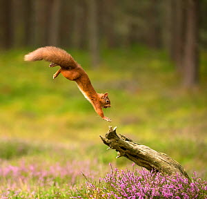 Red Squirrel (Sciurus vulgaris) leaping onto log, Scotland, UK, September. Highly commended in the Habitat category of the BWPA (British Wildlife Photography Awards) 2016. - Mark Hamblin