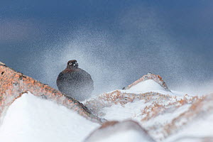 Red Grouse (Lagopus lagopus scoticus) male on rock in swirling spindrift of snow, Scotland, UK, February. Highly commended in the Habitat category of the BWPA (British Wildlife Photography Awards 2016...  -  Mark Hamblin