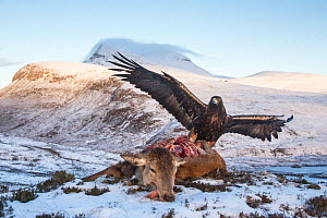 Golden eagle (Aquila chrysaetos) feeding on red deer carcass, Assynt, Scotland. Highly commended in the Habitat category of the BWPA (British Wildlife Photography Awards) 2016.  -  Peter Cairns