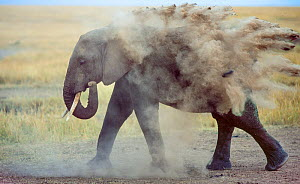 African elephant (Loxodonta africana) female blowing dust over body, Masai Mara, Kenya.  -  Jack Dykinga
