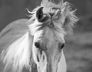 RF - Head and mane of grey Andalusian stallion running in bullfighting arena, Southern Spain, Europe. (This image may be licensed either as rights managed or royalty free.)  -  Carol Walker