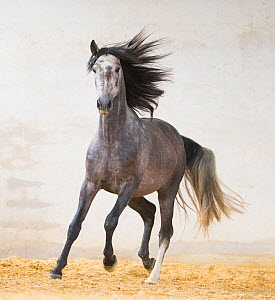 RF - Dapple grey Andalusian stallion running in arena, Northern France, Europe. March. - Carol Walker