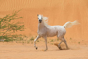 RF - Grey Arabain stallion trotting in desert dunes near Dubai, United Arab Emirates. (This image may be licensed either as rights managed or royalty free.) - Carol Walker