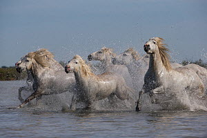RF - Seven white Camargue horses running through water, Camargue, France, Europe. May 2014. (This image may be licensed either as rights managed or royalty free.)  -  Carol Walker