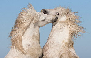 RF - Two white Camargue stallions rearing in play, Camargue, France, Europe. (This image may be licensed either as rights managed or royalty free.) - Carol Walker