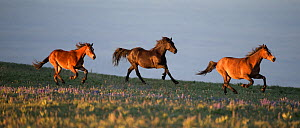 RF - Three wild Mustang horses running in pasture, Pryor Mountains, Montana, USA. June. (This image may be licensed either as rights managed or royalty free.)  -  Carol Walker