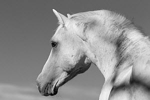 RF - Head portrait of wild Mustang stallion in profile, Pryor Mountains, Montana, USA. (This image may be licensed either as rights managed or royalty free.)  -  Carol Walker