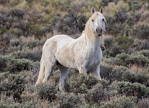 RF - Old grey stallion standing alone in Adobe Town, Wyoming, USA. May. (This image may be licensed either as rights managed or royalty free.)  -  Carol Walker