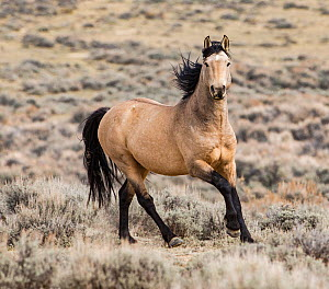 RF - Wild dun Mustang stallion running in Adobe Town, Wyoming, USA. October. (This image may be licensed either as rights managed or royalty free.)  -  Carol Walker