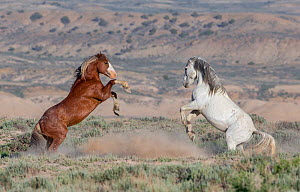 RF - Two wild Mustang stallions, a sorrela and grey, fighting in Adobe Town, Wyoming, USA. June 2013. (This image may be licensed either as rights managed or royalty free.) - Carol Walker