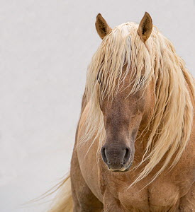 RF - Head portrait of wild dunalino Mustang stallion with long mane, Sand Wash Basin Herd Management Area, Colorado, USA. June. (This image may be licensed either as rights managed or royalty free.)  -  Carol Walker
