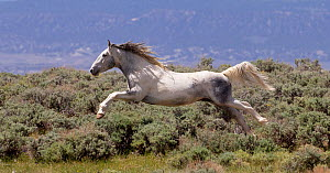 RF - Wild faded pinto Mustang stallion leaping through air in pursuit of another stallion, Sand Wash Basin, Colorado, USA. June. (This image may be licensed either as rights managed or royalty free.)  -  Carol Walker
