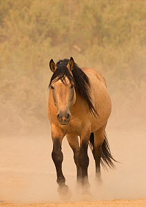 RF - Wild buckskin Mustang stallion walking towards waterhole on dusty dry summer day, Sand Wash Basin, Colorado, USA. August. (This image may be licensed either as rights managed or royalty free.)  -  Carol Walker