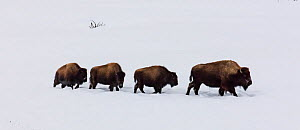 RF - Four Bison (Bison bison) walking in a line through winter snow, Yellowstone, USA. January. (This image may be licensed either as rights managed or royalty free.)  -  Carol Walker