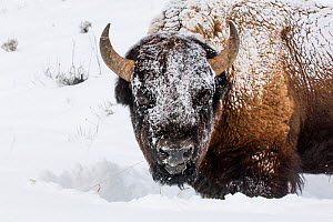 RF - Bison (Bison bison) standing in winter, covered in snow, Yellowstone, USA. January. (This image may be licensed either as rights managed or royalty free.)  -  Carol Walker