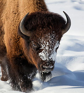 RF - Close up of Bison (Bison bison) walking in winter snow, Yellowstone, USA. January. (This image may be licensed either as rights managed or royalty free.) - Carol Walker