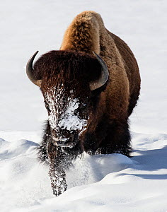 RF - Bison (Bison bison) walking in winter snow, Yellowstone, USA. January. (This image may be licensed either as rights managed or royalty free.)  -  Carol Walker
