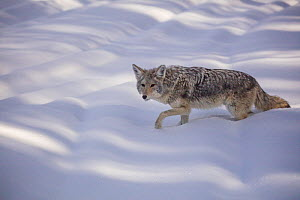 RF - Coyote (Canis latrans) walking in winter snow, Yellowstone, USA. January. (This image may be licensed either as rights managed or royalty free.)  -  Carol Walker