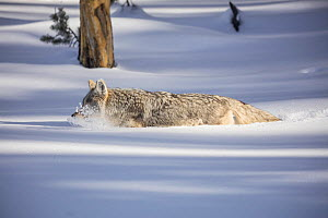 RF - Coyote (Canis latrans) walking though deep winter snow, Yellowstone, USA. January. (This image may be licensed either as rights managed or royalty free.)  -  Carol Walker