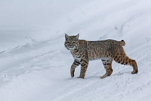 RF - Bobcat (Lynx rufus) pausing in winter snow, Yellowstone, USA. January. (This image may be licensed either as rights managed or royalty free.)  -  Carol Walker
