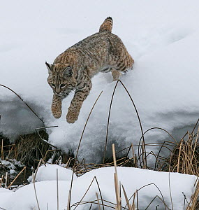 RF - Bobcat (Lynx rufus) jumping in winter snow, Yellowstone, USA. January. (This image may be licensed either as rights managed or royalty free.)  -  Carol Walker