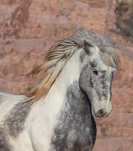 RF - Head portrait of wild Mustang stallion tossing his mane while running, Black Hills Wild Horse Sanctuary, South Dakota, USA. February. (This image may be licensed either as rights managed or royal...  -  Carol Walker