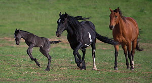 RF - Wild  black Mustang filly leaping as pinto Mustang mother and friend follow, Black Hills Wild Horse Sanctuary, South Dakota, USA. June. (This image may be licensed either as rights managed or roy...  -  Carol Walker
